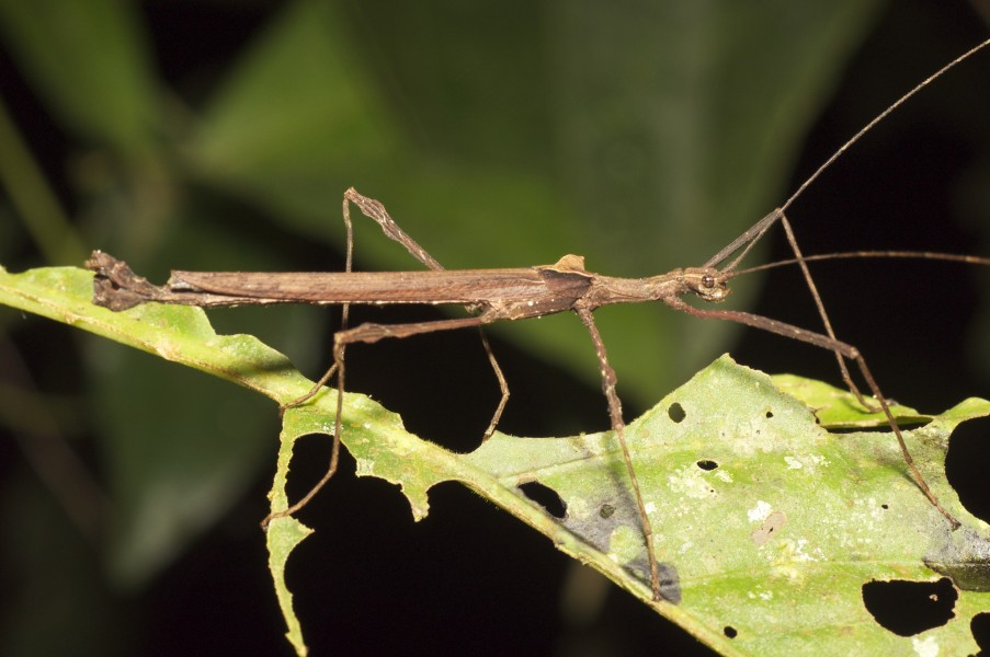 Stick insect (15048094723)