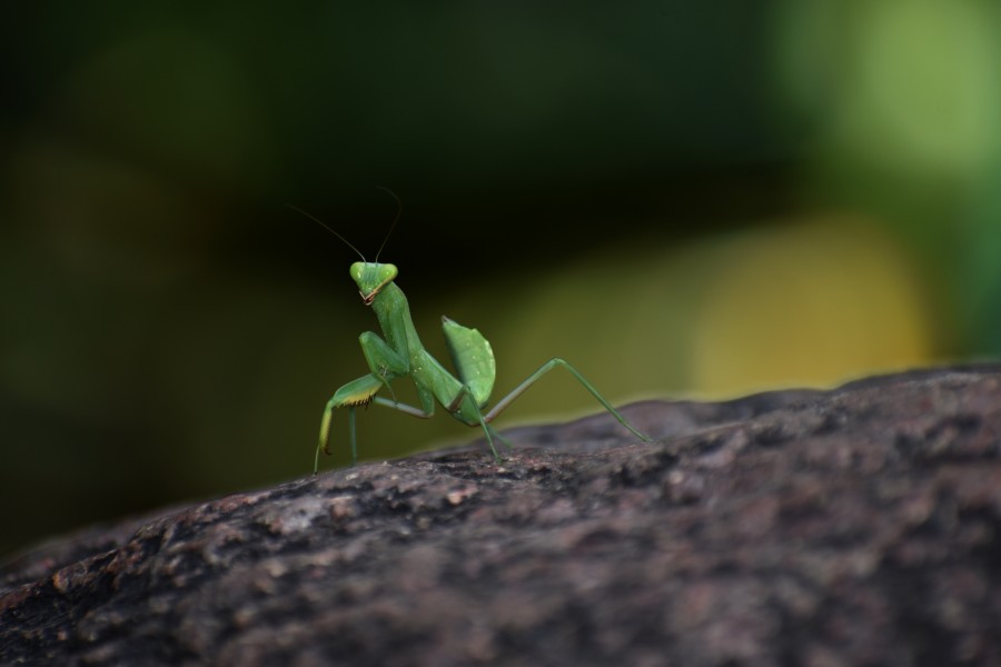 The Body Structure of Legend Praying Mantis 18