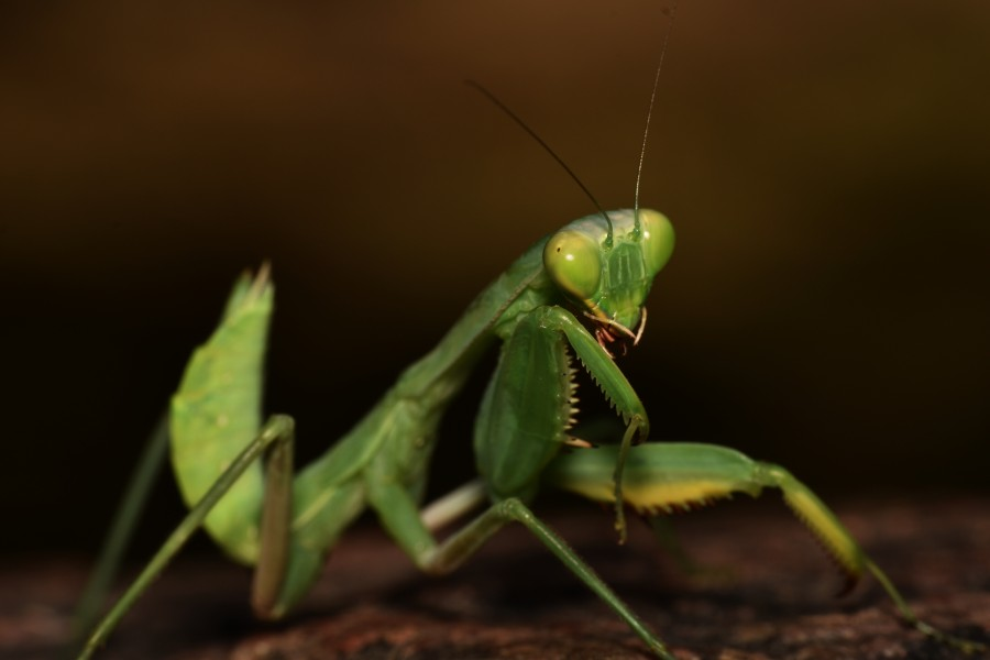 The Body Structure of Legend Praying Mantis 24