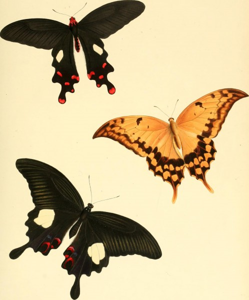 The genera of diurnal lepidoptera - comprising their generic characters, a notice of their habits and transformations, and a catalogue of the species of each genus (1846) (14597309658)