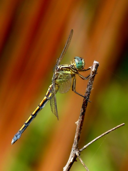 Tri-coloured Marsh Hawk Orthetrum luzonicum Female by kadavoor