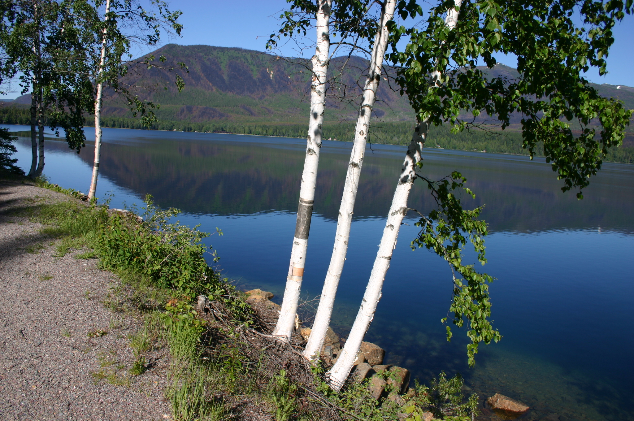 Three Betula papyrifera by McDonald Lake