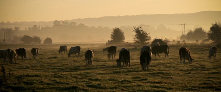 Cows grazing autumn morning, Somerset levels (2930581997)
