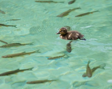 a duckling at Plitvice Lakes, Croatia, July 2014, picture 10