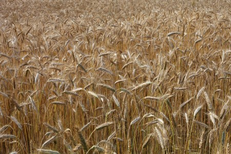Golden ripening grains, Lviv region, Ukraine, July 2012