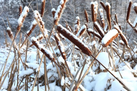 God's creation: reeds in snow, December 2012, photo 9