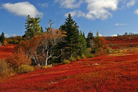 Wild blueberry fields in the fall near Parrsboro