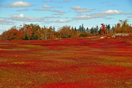 Wild blueberry fields in the fall near Parrsboro (1)