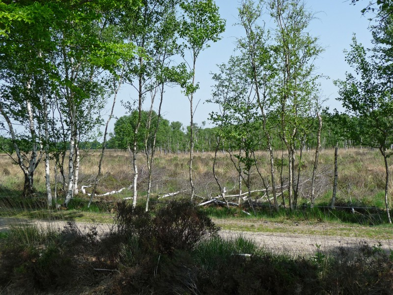 Birches in spring on the moor of Fchterloerveen
