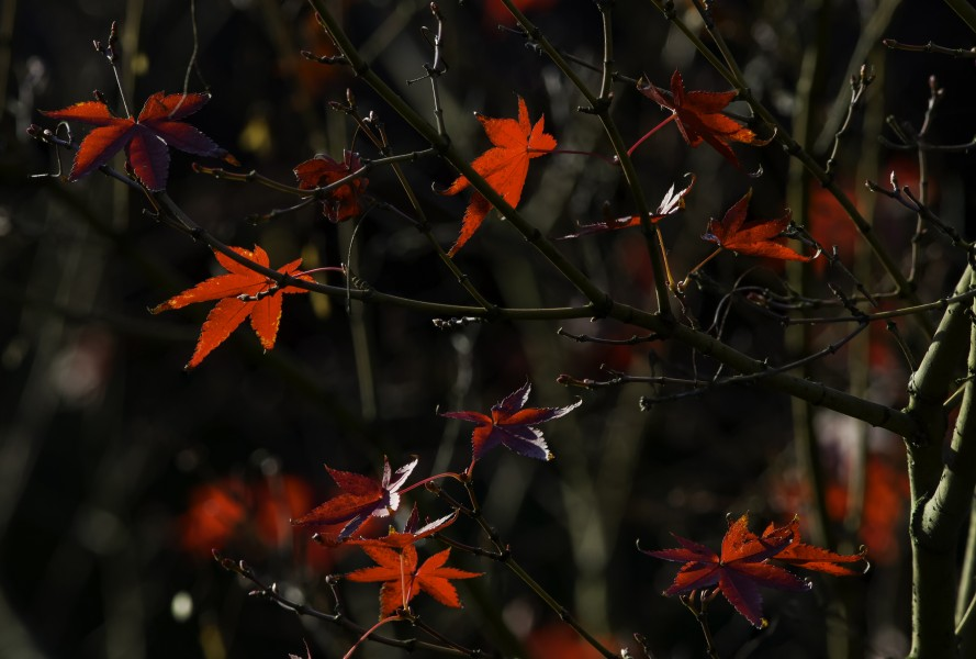Japanese maple at Shitennō-ji Honbō Garden in Osaka, November 2015 - Stacking - ProPhotoRGB