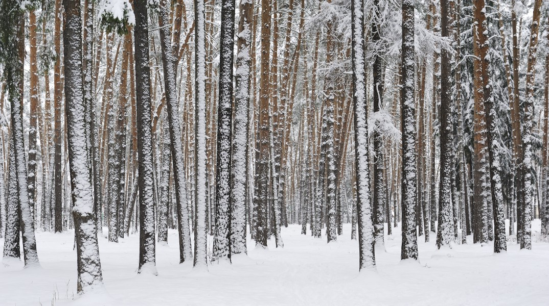 Russia. Moscow Region. Winter pine wood, lake Kratovskoe area