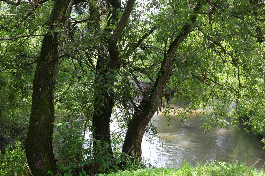 Trees over Zubra river in Brodky village, Lviv region, Ukraine