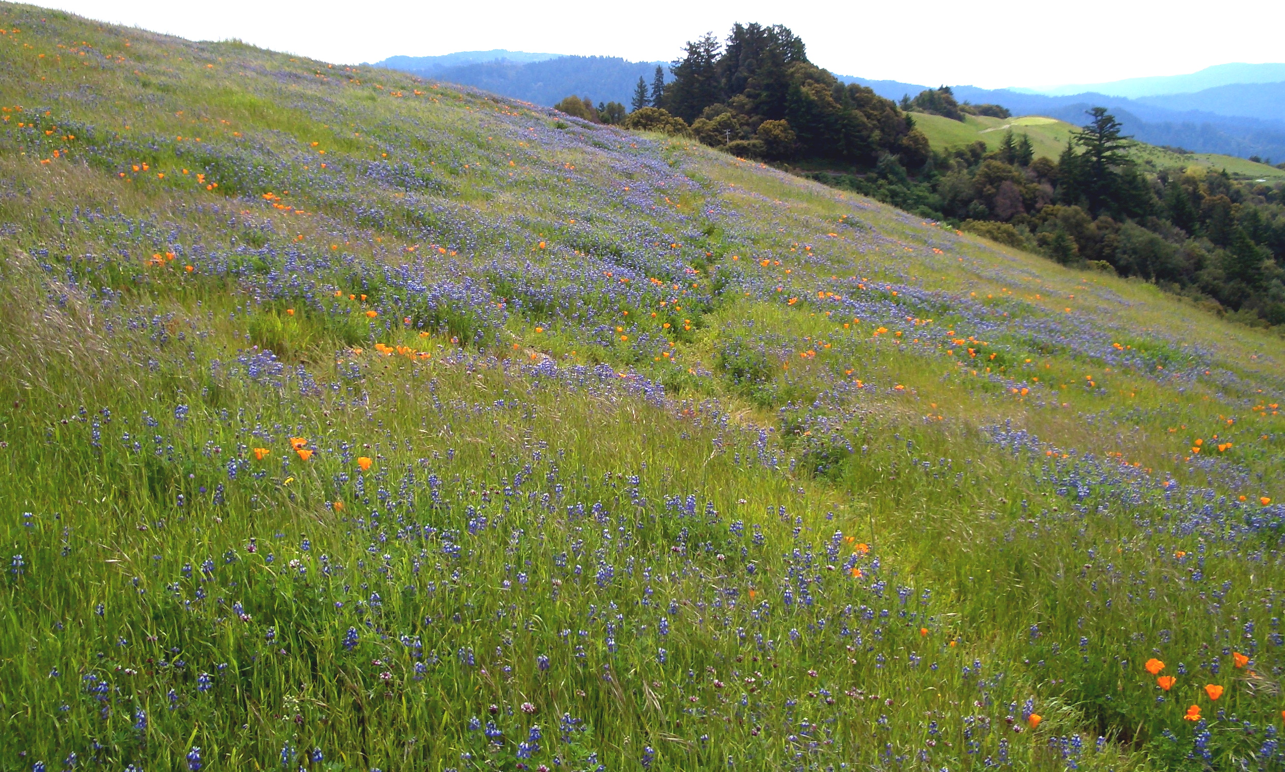Russian Ridge-Wildflowers