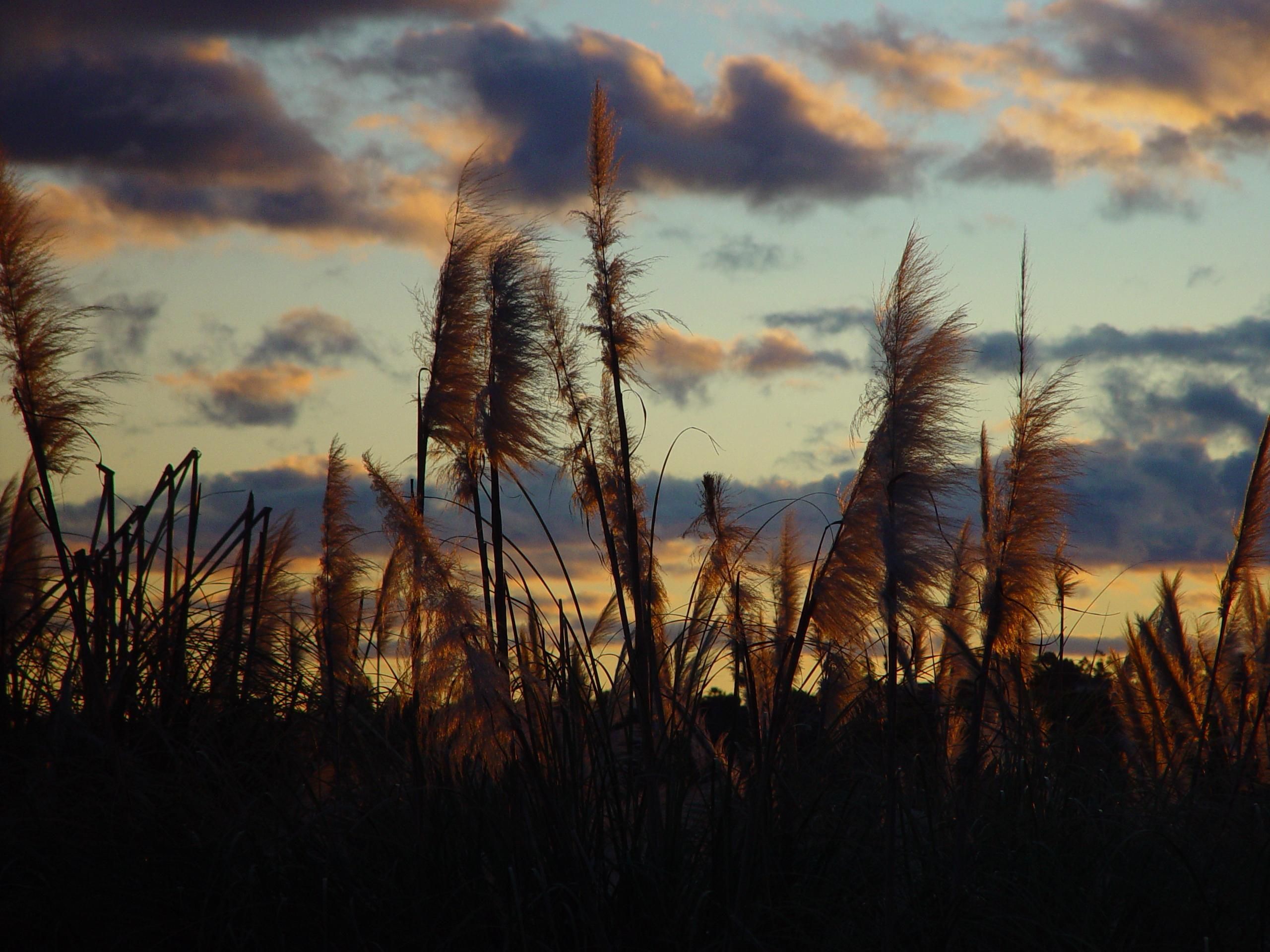 Sunset afterglow through reeds