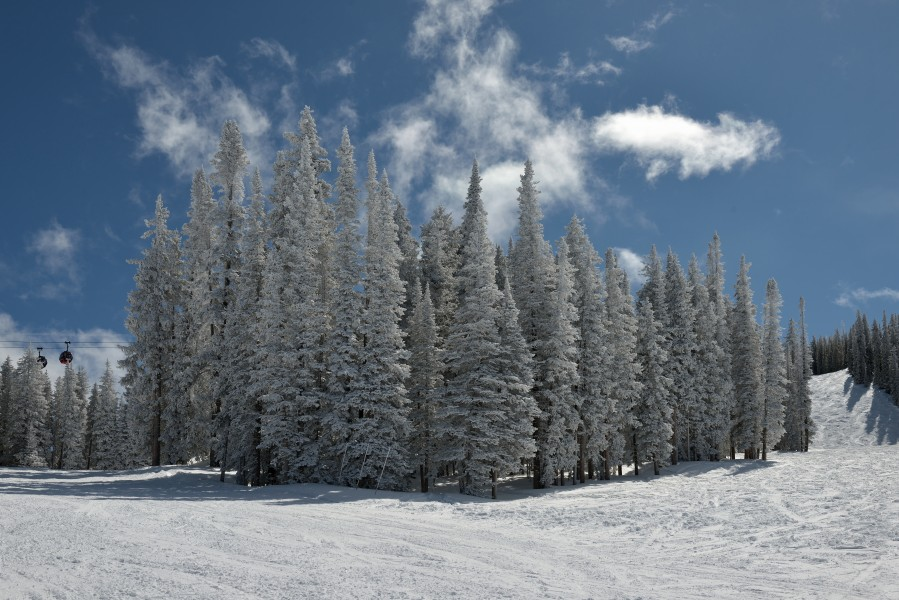 Aspen Mountain firs with fresh snow