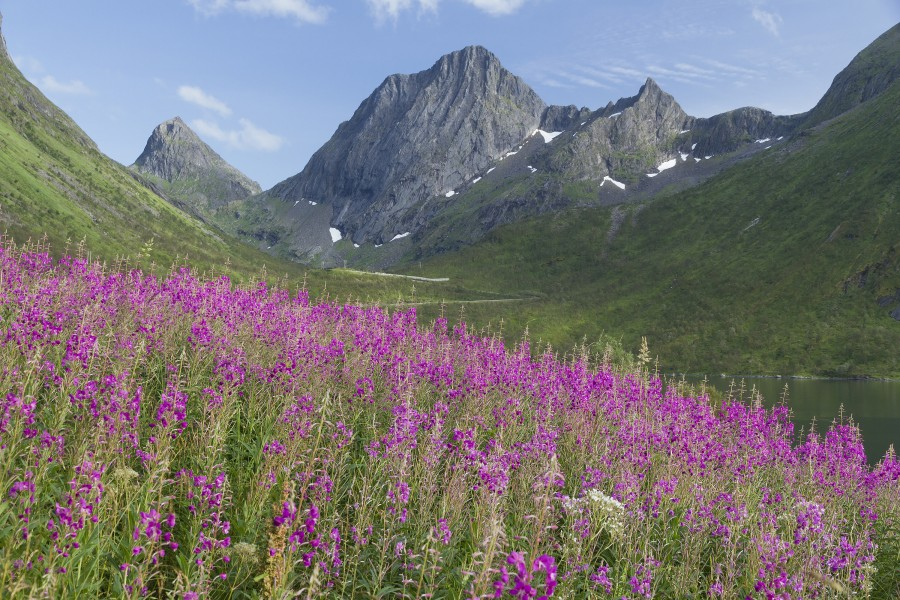 Rosebay willowherb and Stormoa Senja, Troms, Norway, 2014 August