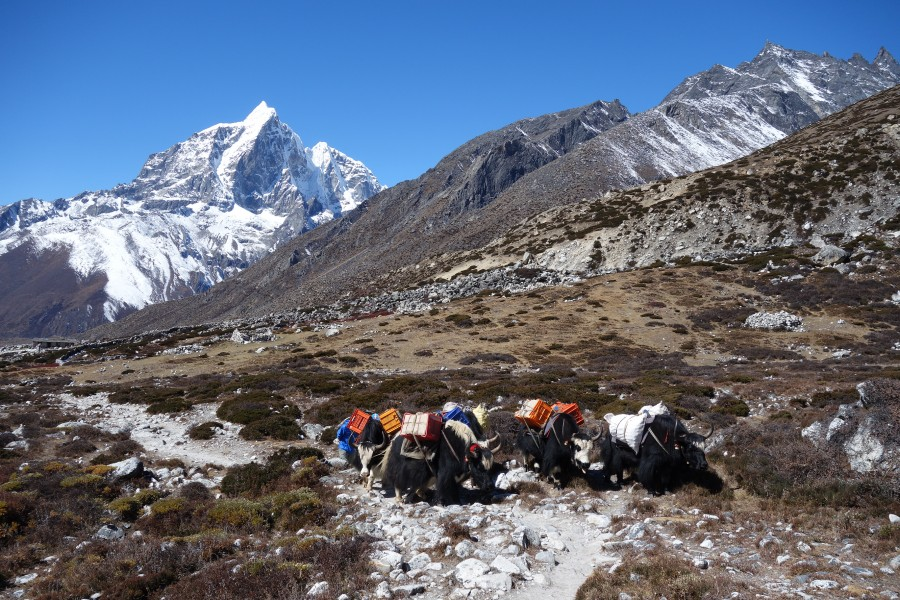 Working yaks in Everest region