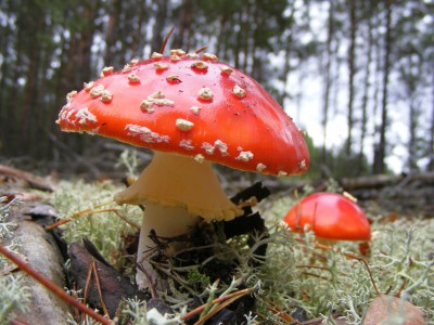 Amanita muscaria, Noteć Forest
