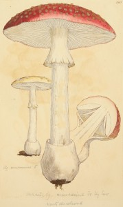Coloured Figures of English Fungi or Mushrooms - t. 286