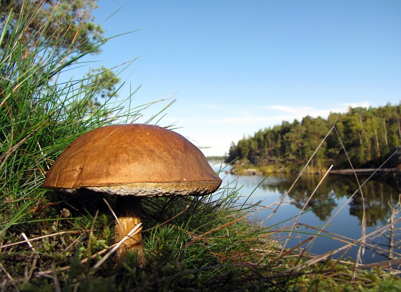 Boletus in Finnish forest