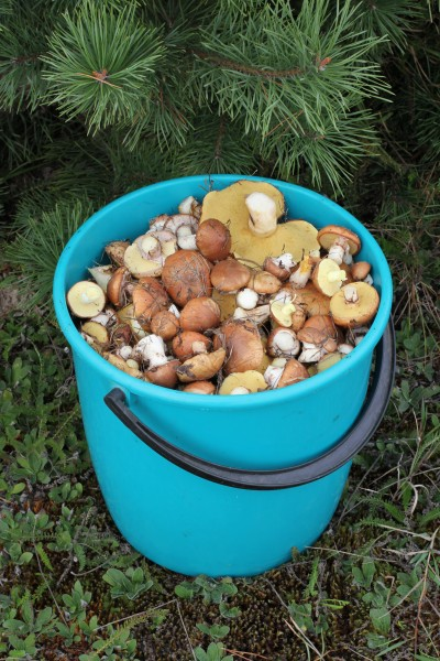 Edible fungi in bucket 2013 G1