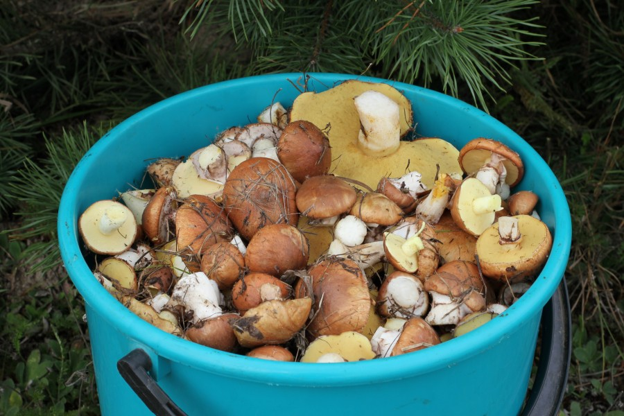 Edible fungi in bucket 2013 G2