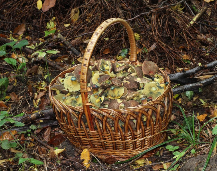 Xerocomellus chrysenteron, Edible fungi in basket 2013 G1