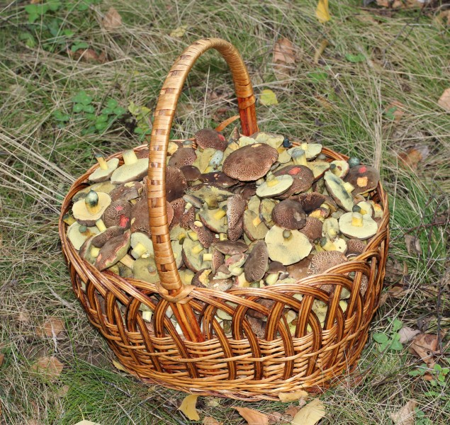 Xerocomellus chrysenteron, Edible fungi in basket 2013 G2
