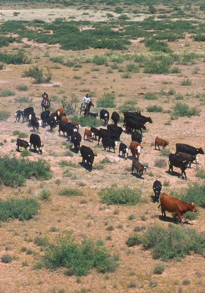 Cattle round up