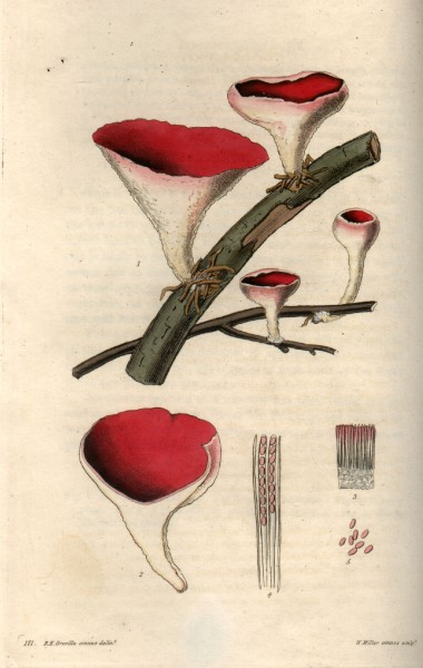 Fungi engraving by William Miller after R K Greville