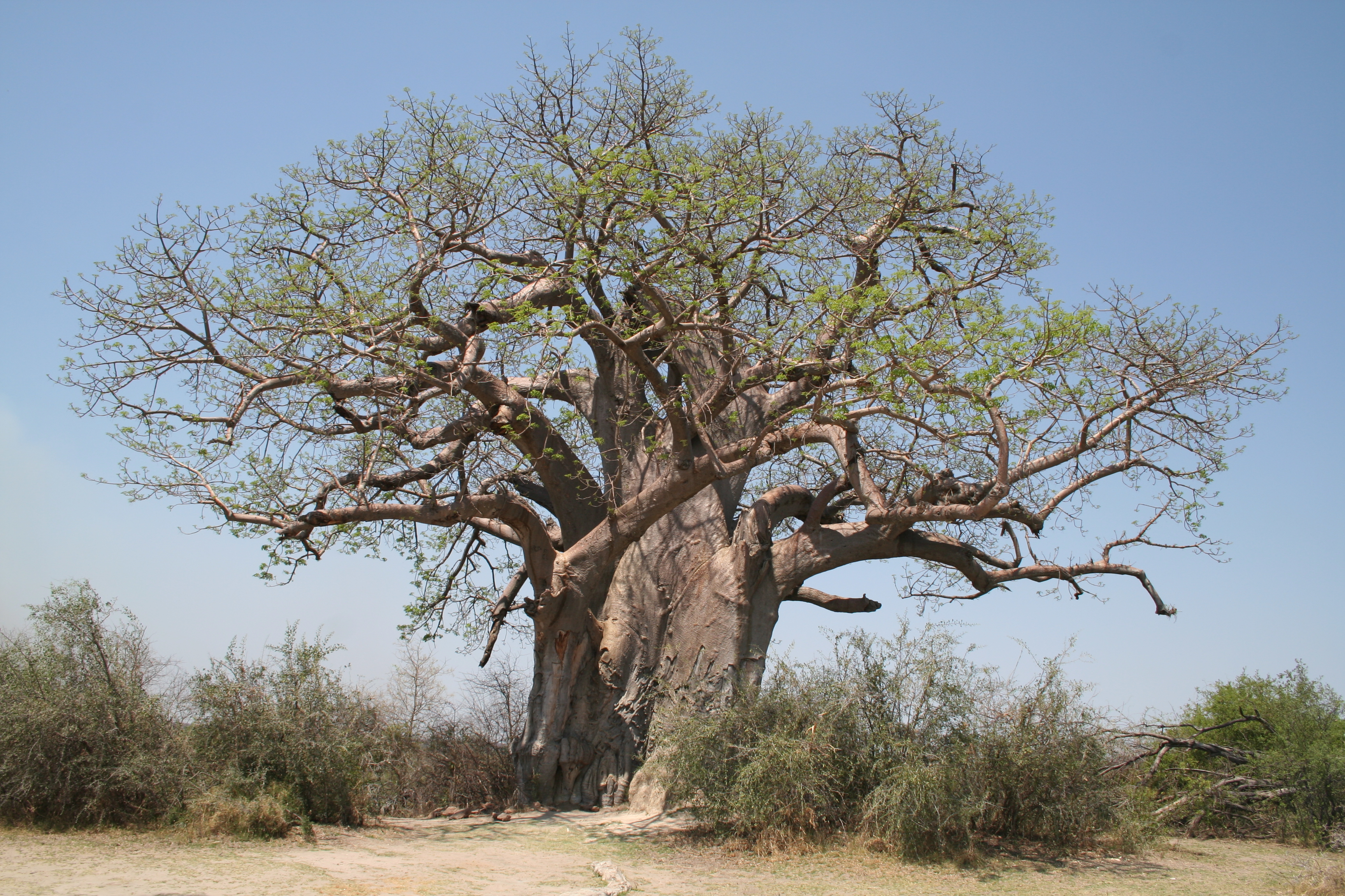 Adansonia digitata MS 10040