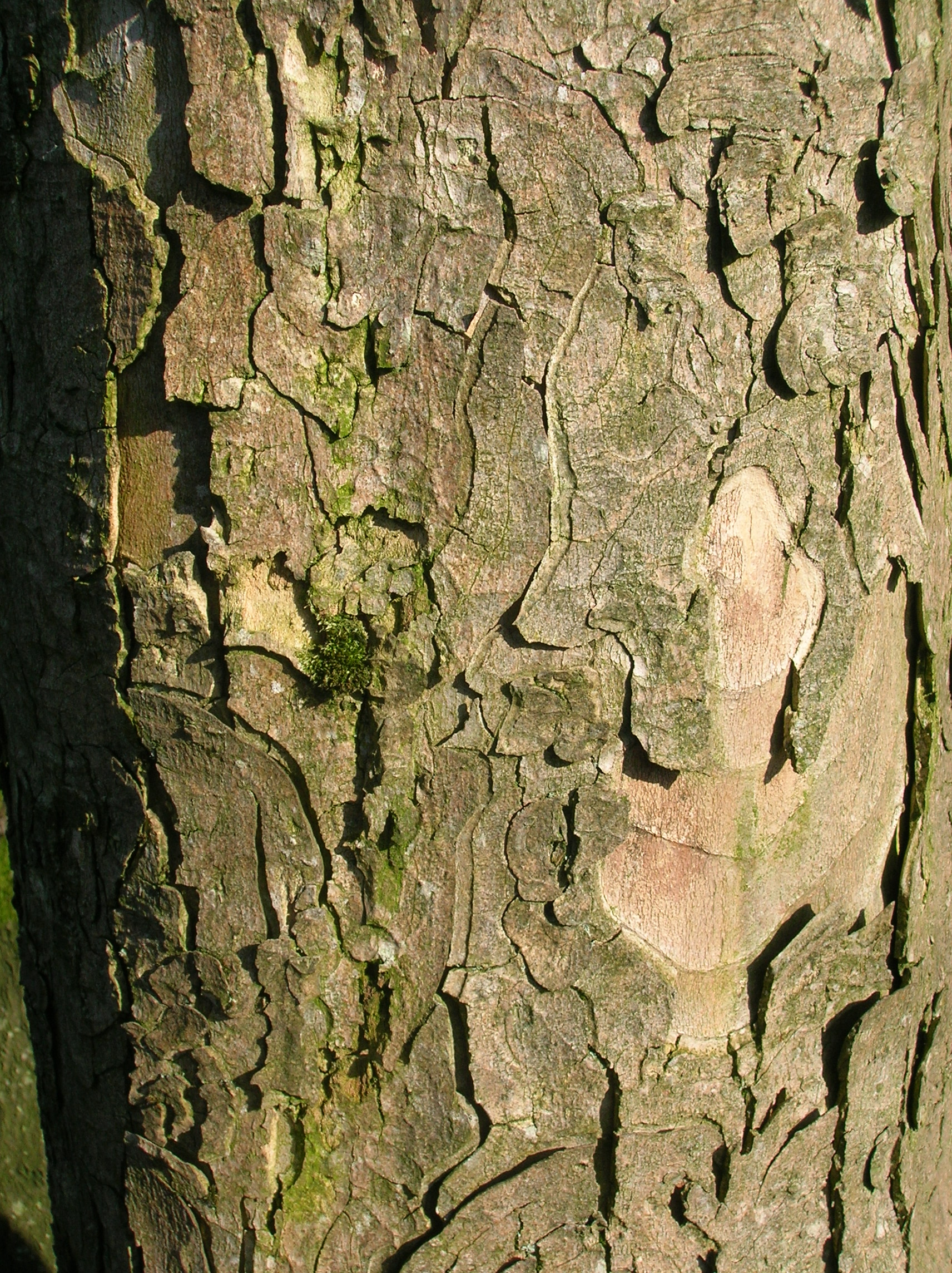 Bark of an old Sycamore
