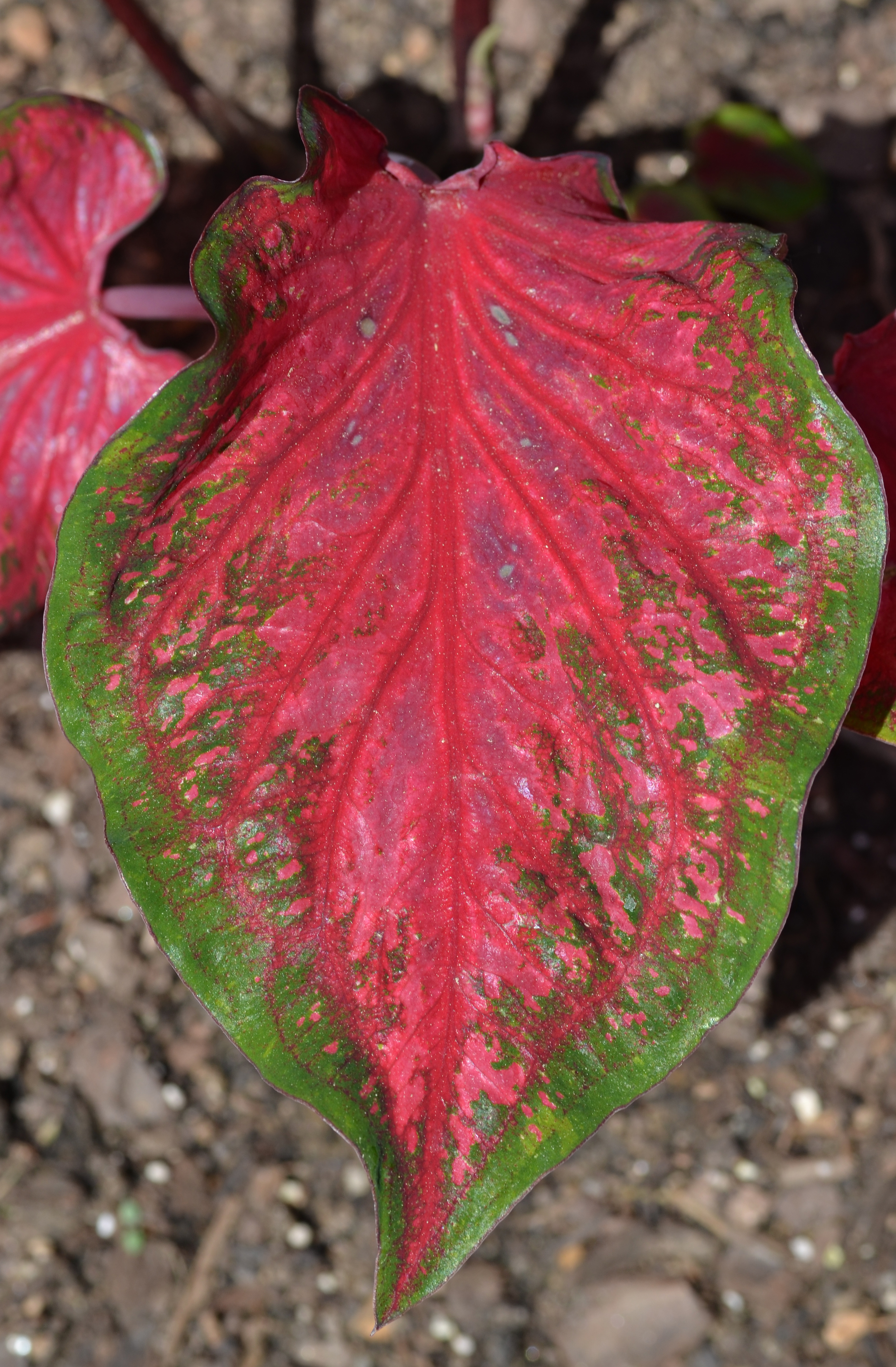 Caladium 'Scarlet Flame' Leaf