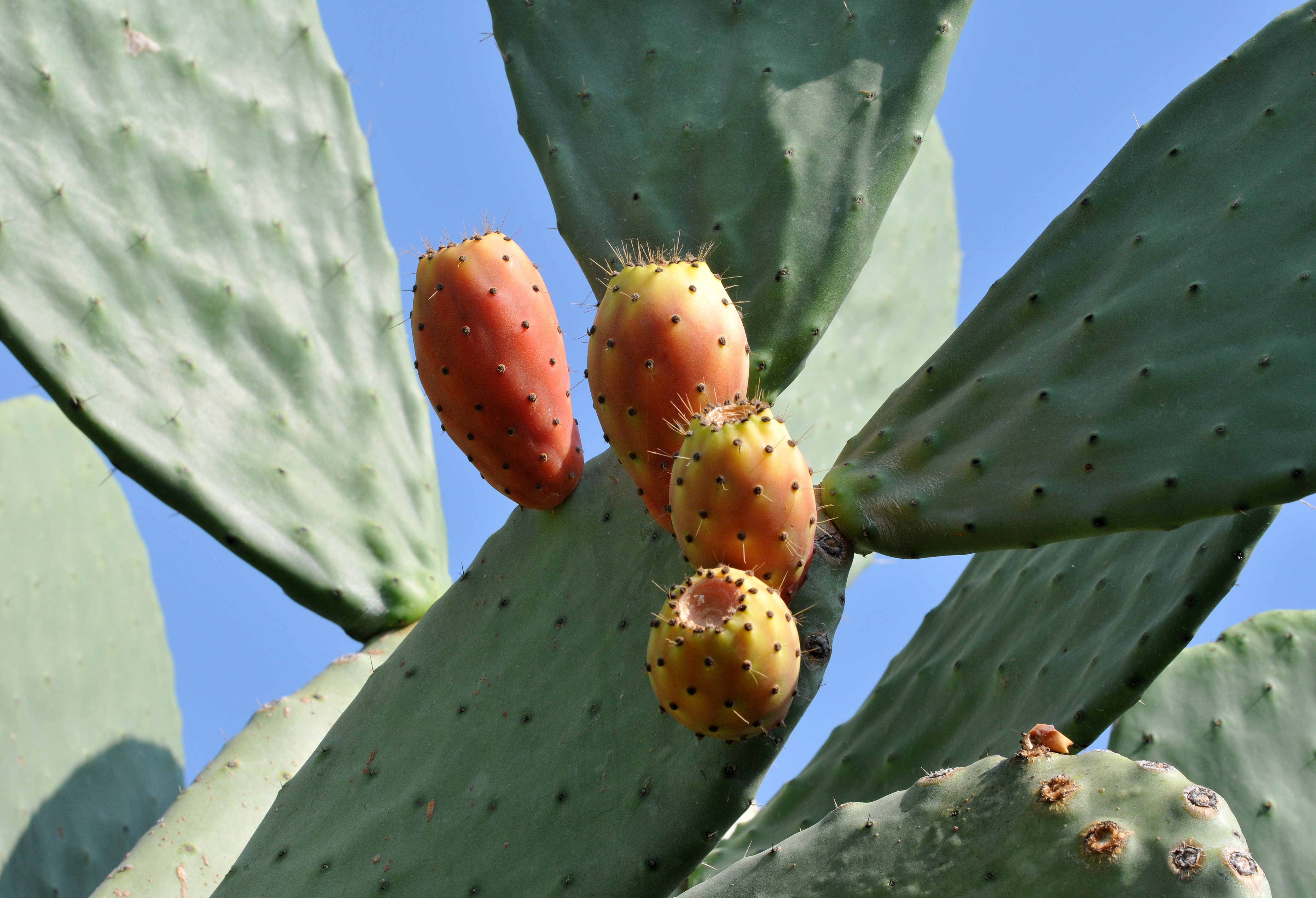 Hint inciri - Indian fig - Opuntia ficus-indica 01