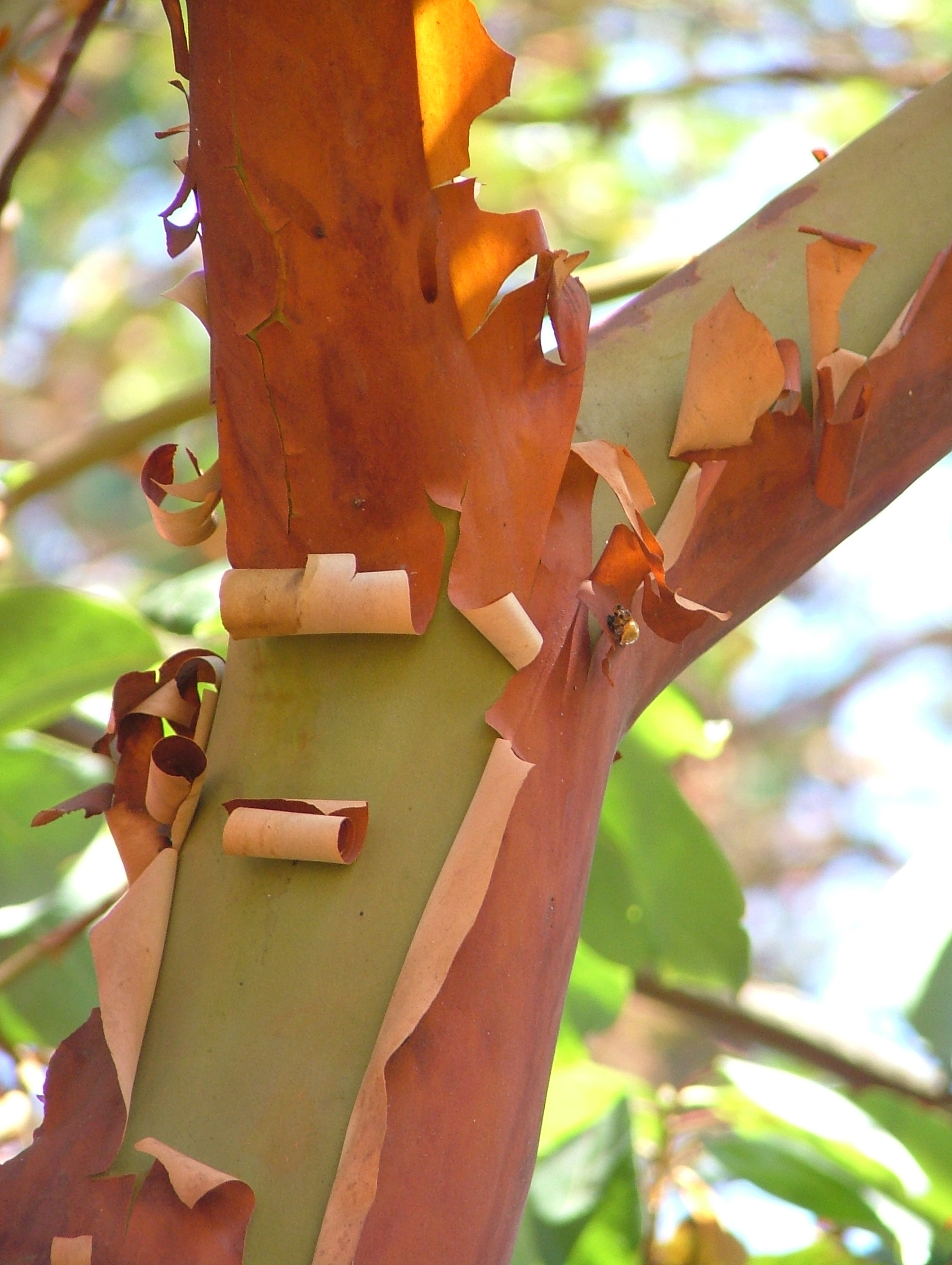 Image-Pacific Madrone Arbutus menziesii Branch Fork 2120px