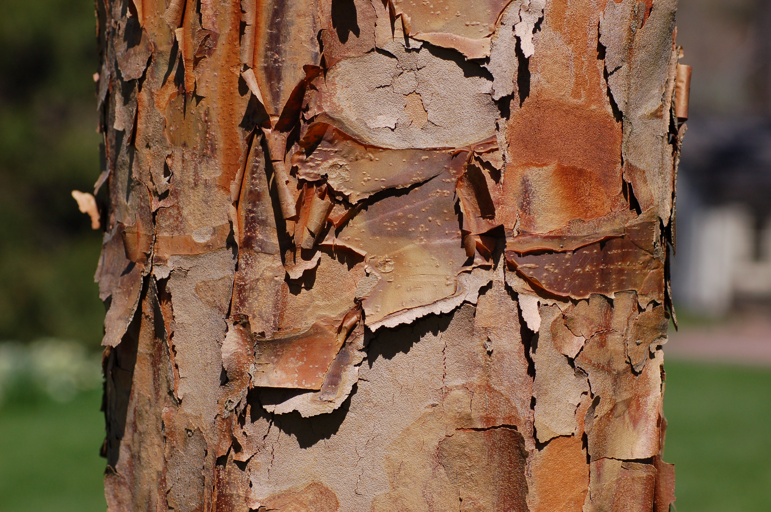 Paperbark Maple Acer griseum Bark 3008px
