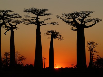 Baobabs Avenue Sunset 4