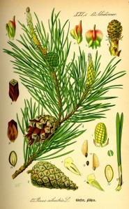 Illustration Pinus sylvestris0