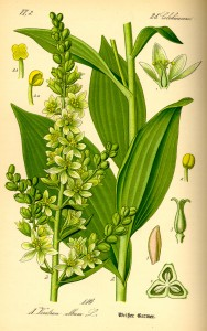 Illustration Veratrum album0