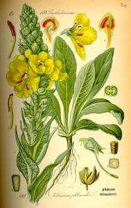 Illustration Verbascum phlomoides0