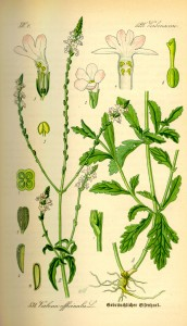 Illustration Verbena officinalis0