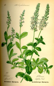 Illustration Veronica officinalis0