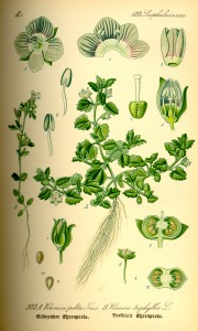 Illustration Veronica triphyllos0