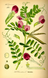 Illustration Vicia sativa0