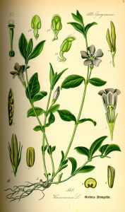 Illustration Vinca minor0