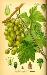 Illustration Vitis vinifera0