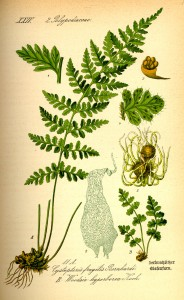 Illustration Woodsia alpina0