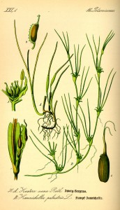 Illustration Zostera noltii0