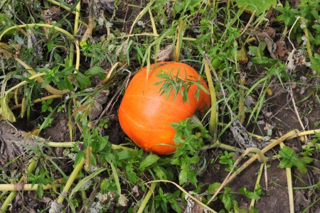 A pumpkin in a field