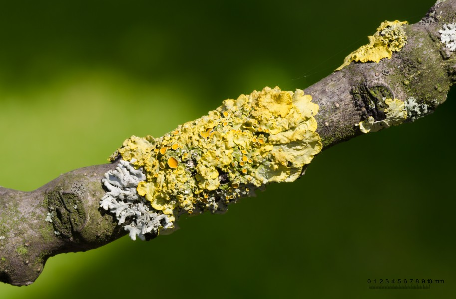 Common yellow lichen - Xanthoria parietina - on a branch of an ash tree - Fraxinus excelsior - 01
